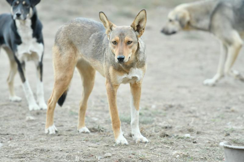 GINGER (ex YARA) - femelle croisée de taille moyenne, née début avril 2017 - REMEMBER ME LAND - Adoptée par Raquel (Belgique)  Yara310