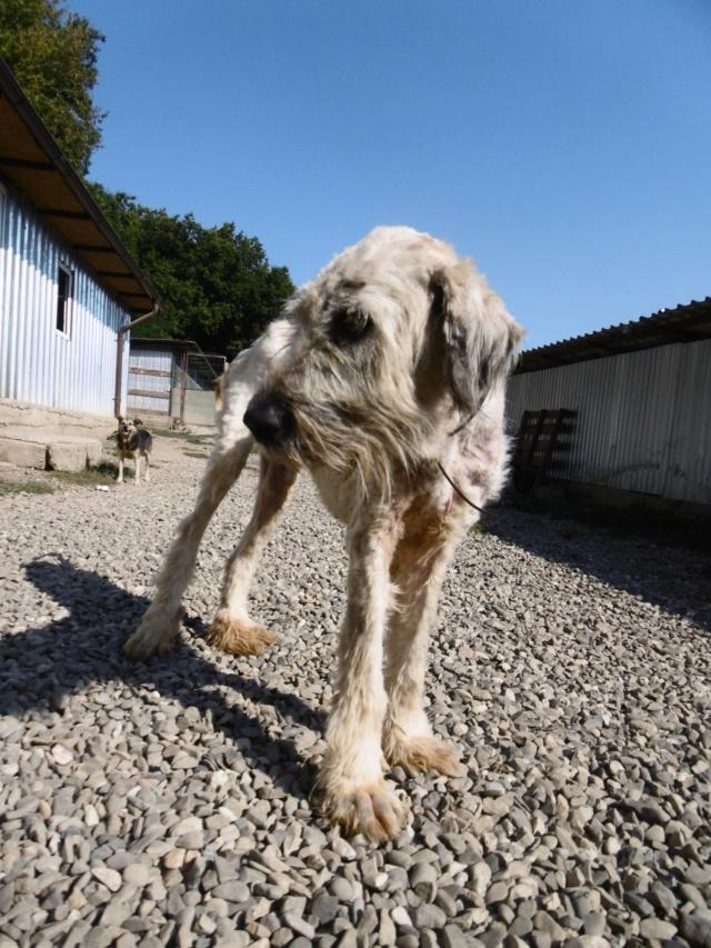 YETIA - femelle, croisée mioritic, de grande taille - née environ en 2011 - REMEMBER ME LAND - Décédée  Yetia_16