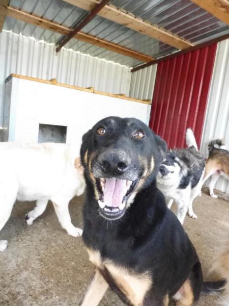 ZIGZAG, chien battu et martyrisé - mâle croisé Berger Allemand, taille moyenne, né environ 2008 - (PASCANI) REMEMBER ME LAND - Adopté par Laury-Anne (35) Zigzag17