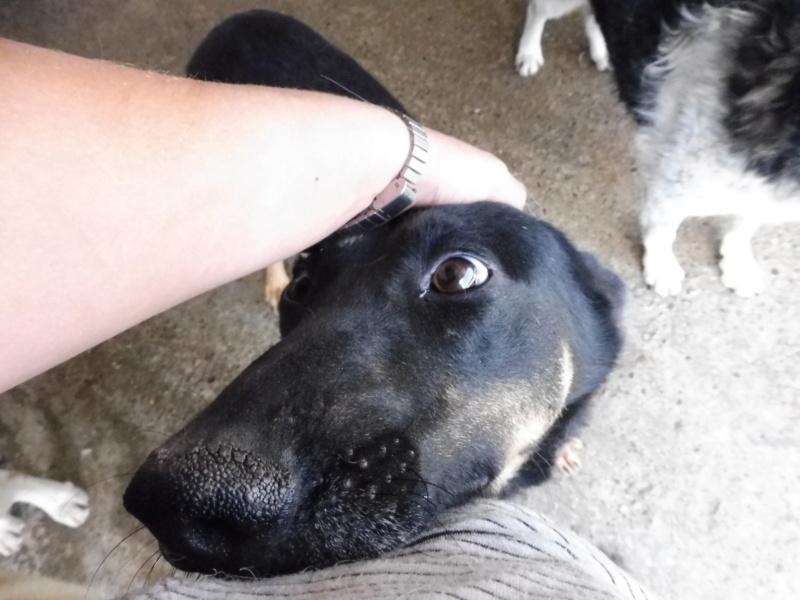 ZIGZAG, chien battu et martyrisé - mâle croisé Berger Allemand, taille moyenne, né environ 2008 - (PASCANI) REMEMBER ME LAND - Adopté par Laury-Anne (35) Zigzag20