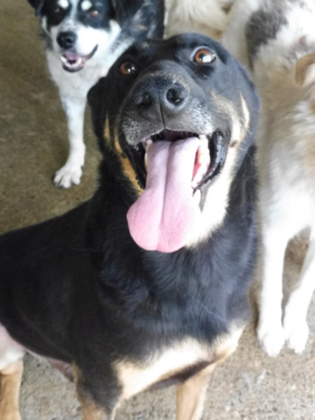 ZIGZAG, chien battu et martyrisé - mâle croisé Berger Allemand, taille moyenne, né environ 2008 - (PASCANI) REMEMBER ME LAND - Adopté par Laury-Anne (35) Zigzag22