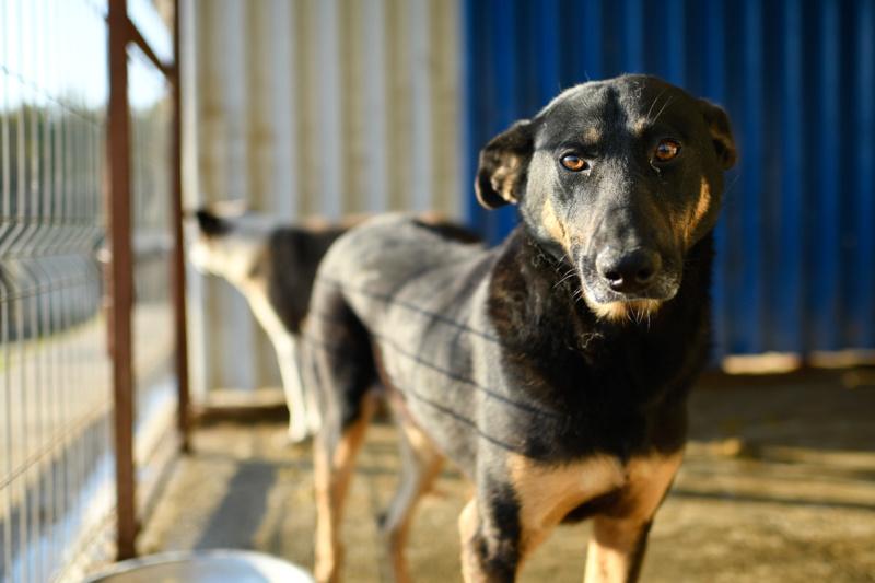 ZIGZAG, chien battu et martyrisé - mâle croisé Berger Allemand, taille moyenne, né environ 2008 - (PASCANI) REMEMBER ME LAND - Adopté par Laury-Anne (35) - Page 2 Zigzag25