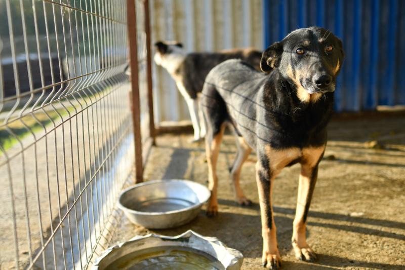 ZIGZAG, chien battu et martyrisé - mâle croisé Berger Allemand, taille moyenne, né environ 2008 - (PASCANI) REMEMBER ME LAND - Adopté par Laury-Anne (35) - Page 2 Zigzag26