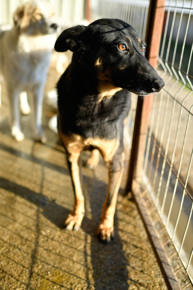 ZIGZAG, chien battu et martyrisé - mâle croisé Berger Allemand, taille moyenne, né environ 2008 - (PASCANI) REMEMBER ME LAND - Adopté par Laury-Anne (35) - Page 2 Zigzag27