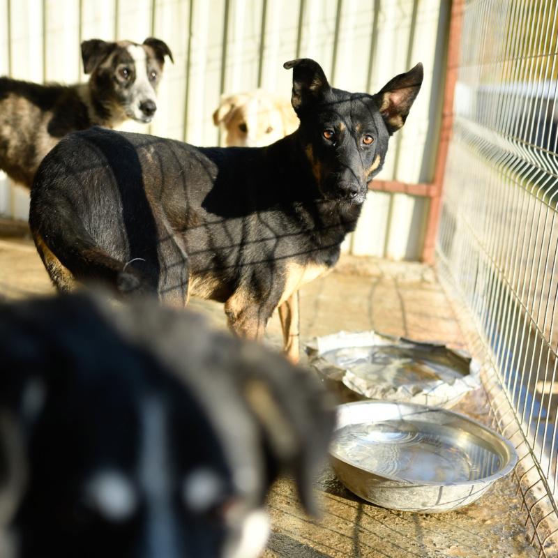 ZIGZAG, chien battu et martyrisé - mâle croisé Berger Allemand, taille moyenne, né environ 2008 - (PASCANI) REMEMBER ME LAND - Adopté par Laury-Anne (35) - Page 2 Zigzag30