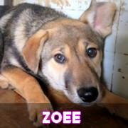 Les chiots en roumanie en un clin d'oeil  Zoee14