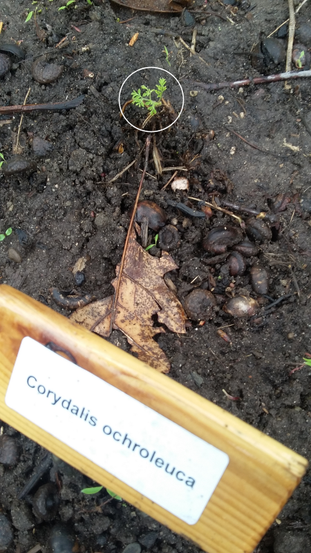 CORYDALIS ochroleuca  Serre013
