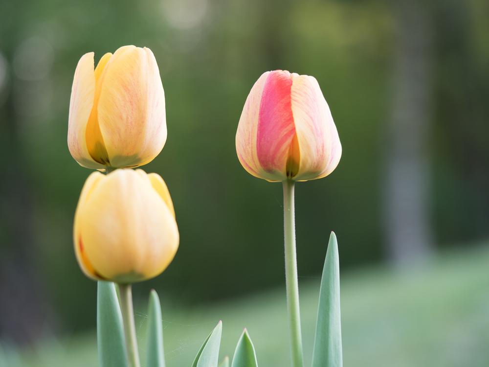 Tulipes Tulipe10
