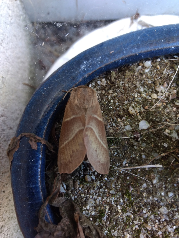 Papillons de nuit Img_2010