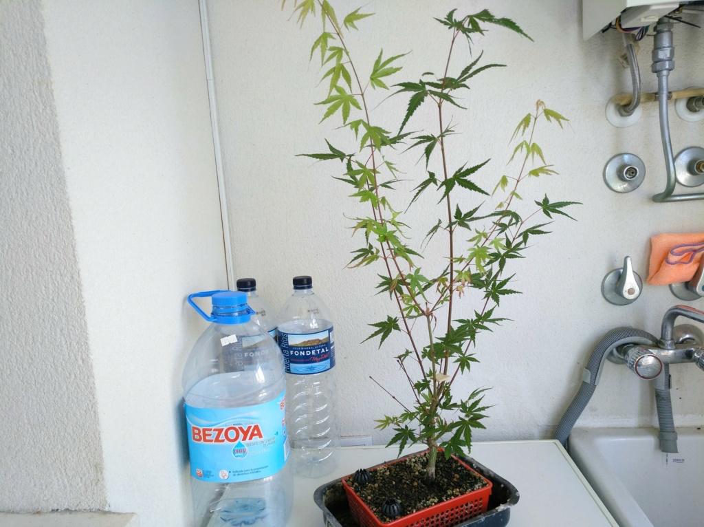 Acer palmatum yamamomiji. Evolución desde plantón 15326910