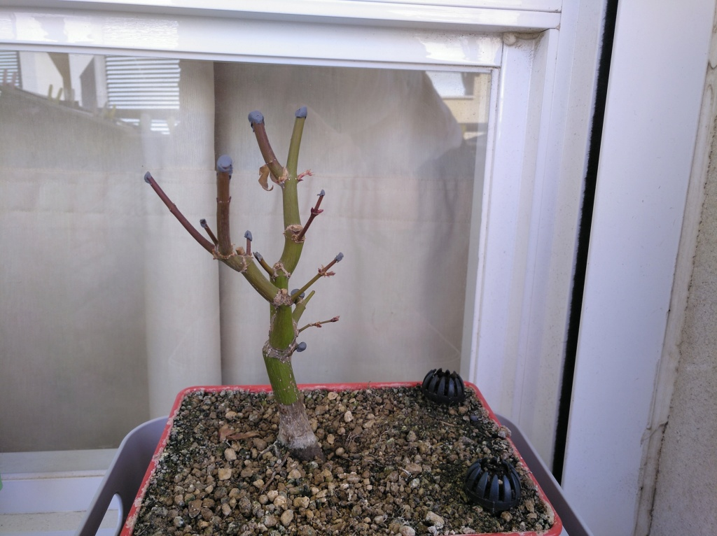 Acer palmatum yamamomiji. Evolución desde plantón - Página 2 15498010