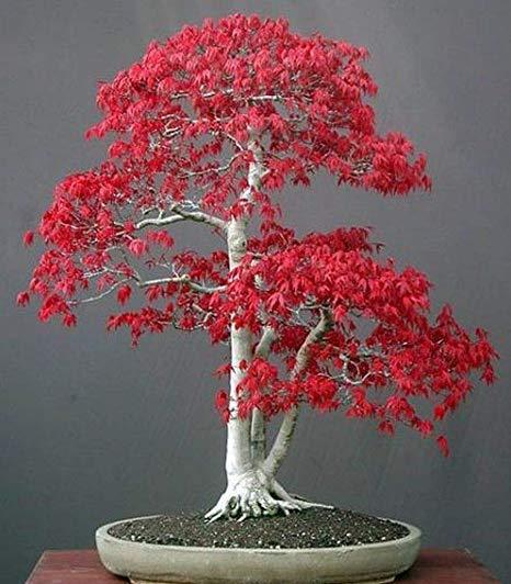 Acer palmatum yamamomiji. Evolución desde plantón - Página 2 611bup10