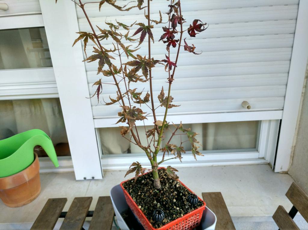 Acer palmatum yamamomiji. Evolución desde plantón - Página 2 Img_2048