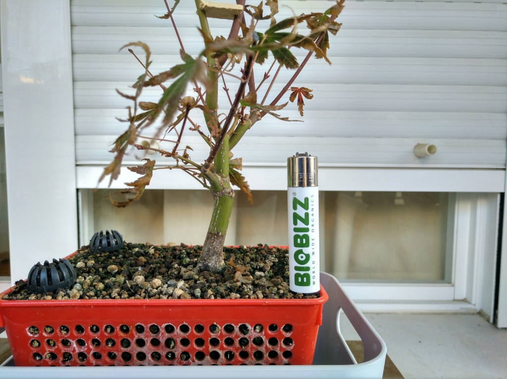 Acer palmatum yamamomiji. Evolución desde plantón - Página 2 Img_2050