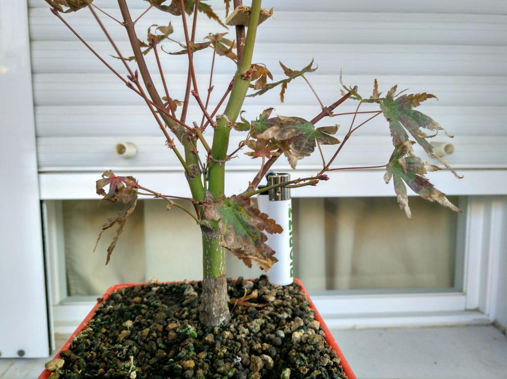 Acer palmatum yamamomiji. Evolución desde plantón - Página 2 Img_2051