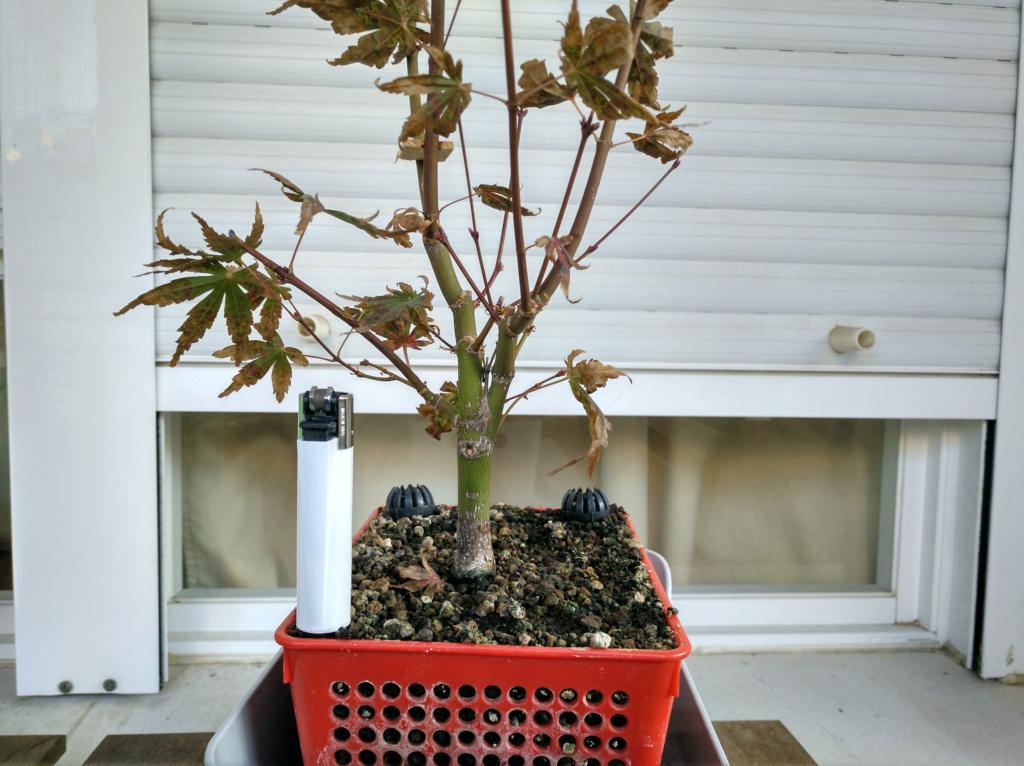 Acer palmatum yamamomiji. Evolución desde plantón - Página 2 Img_2052