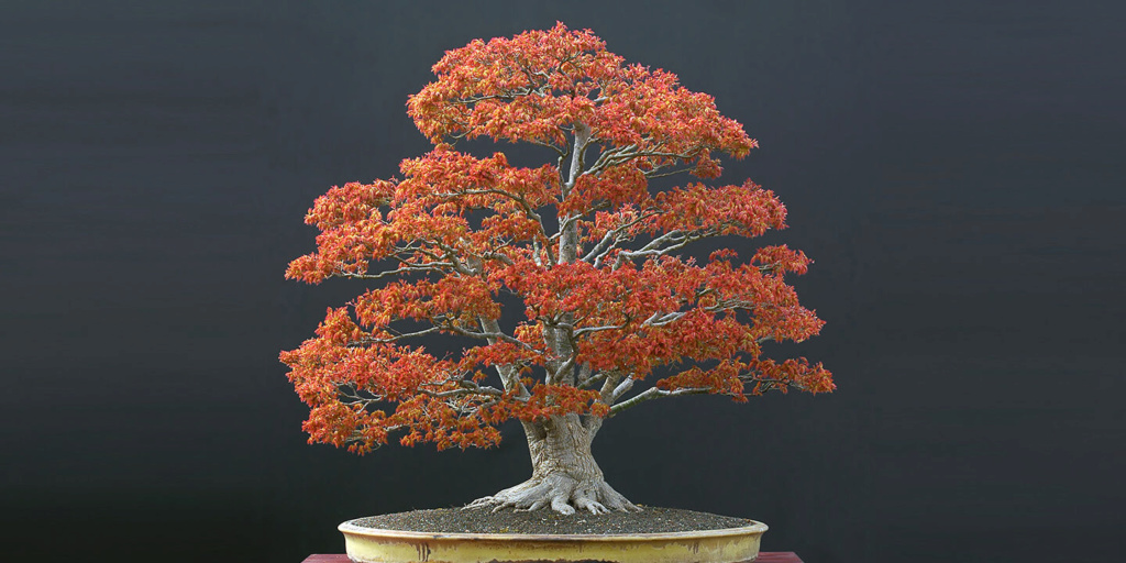 Acer palmatum yamamomiji. Evolución desde plantón - Página 2 Ozfrpp10