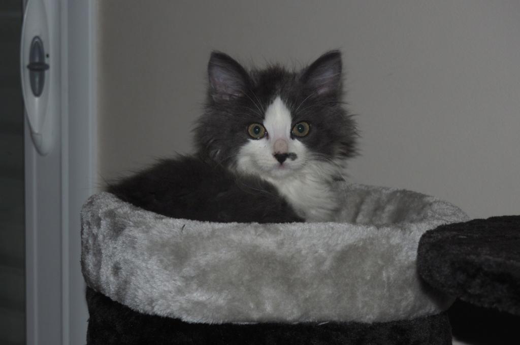 Oberyn, chaton blanc et gris poils longs, né le 27.08.18 Oi000110