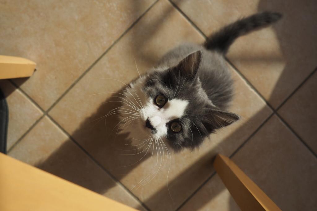 Oberyn, chaton blanc et gris poils longs, né le 27.08.18 Oi000111