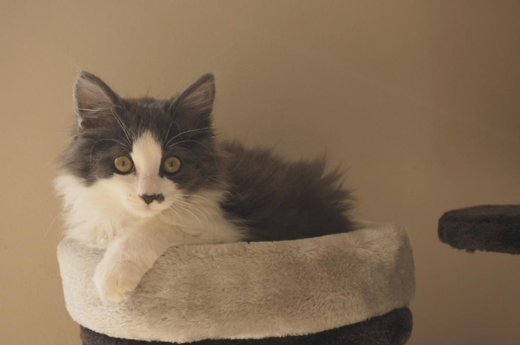 Oberyn, chaton blanc et gris poils longs, né le 27.08.18 Oi000113