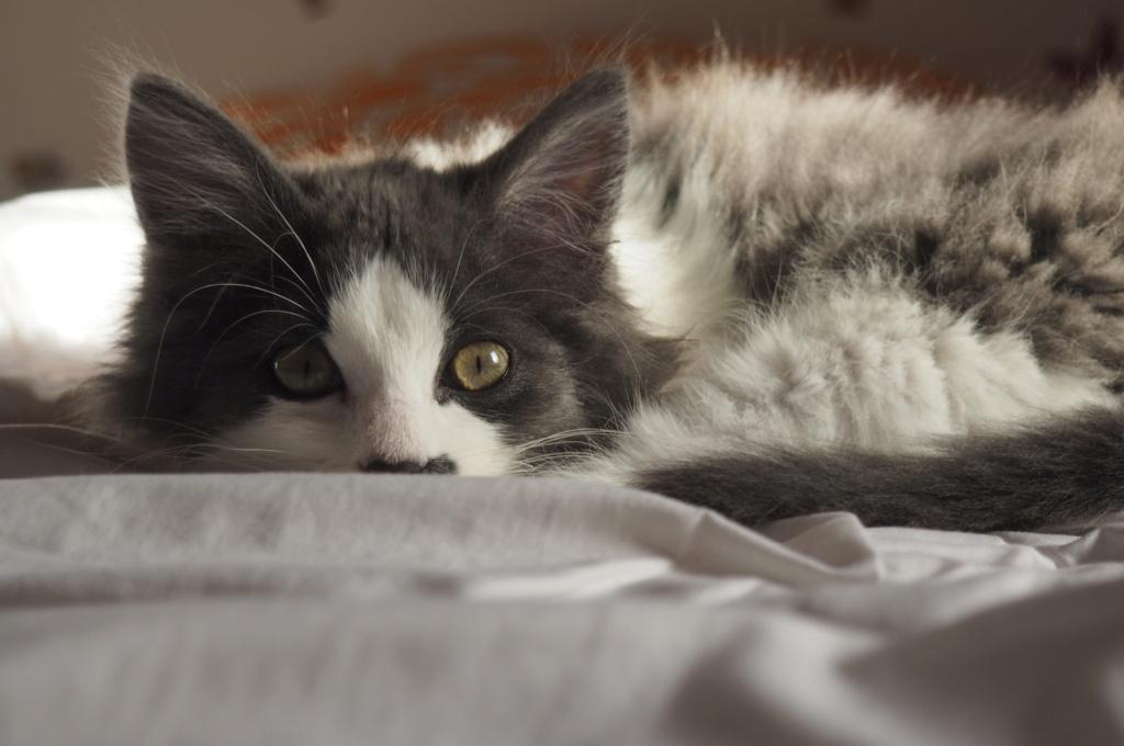 Oberyn, chaton blanc et gris poils longs, né le 27.08.18 Oi000114