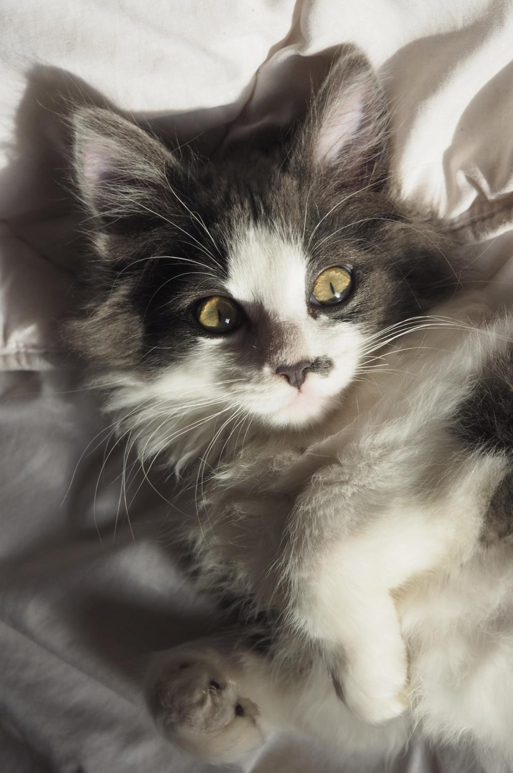 Oberyn, chaton blanc et gris poils longs, né le 27.08.18 Oi000118