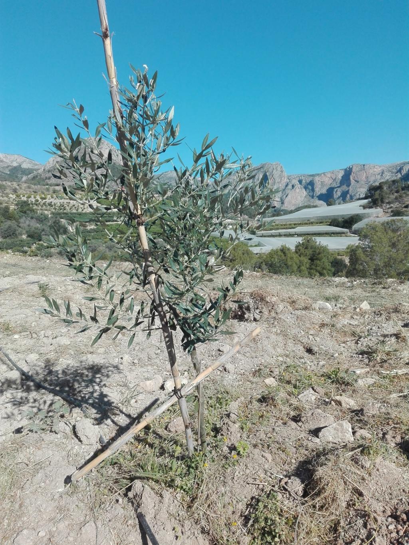 Crecimiento de plantones olivo - Página 16 Img_2010