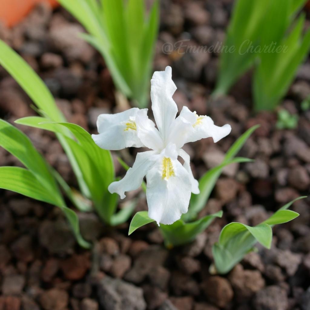 Iris cristata alba Iriscr11