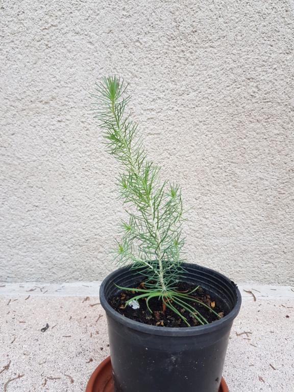 Prebonsai pino y encina  20180913