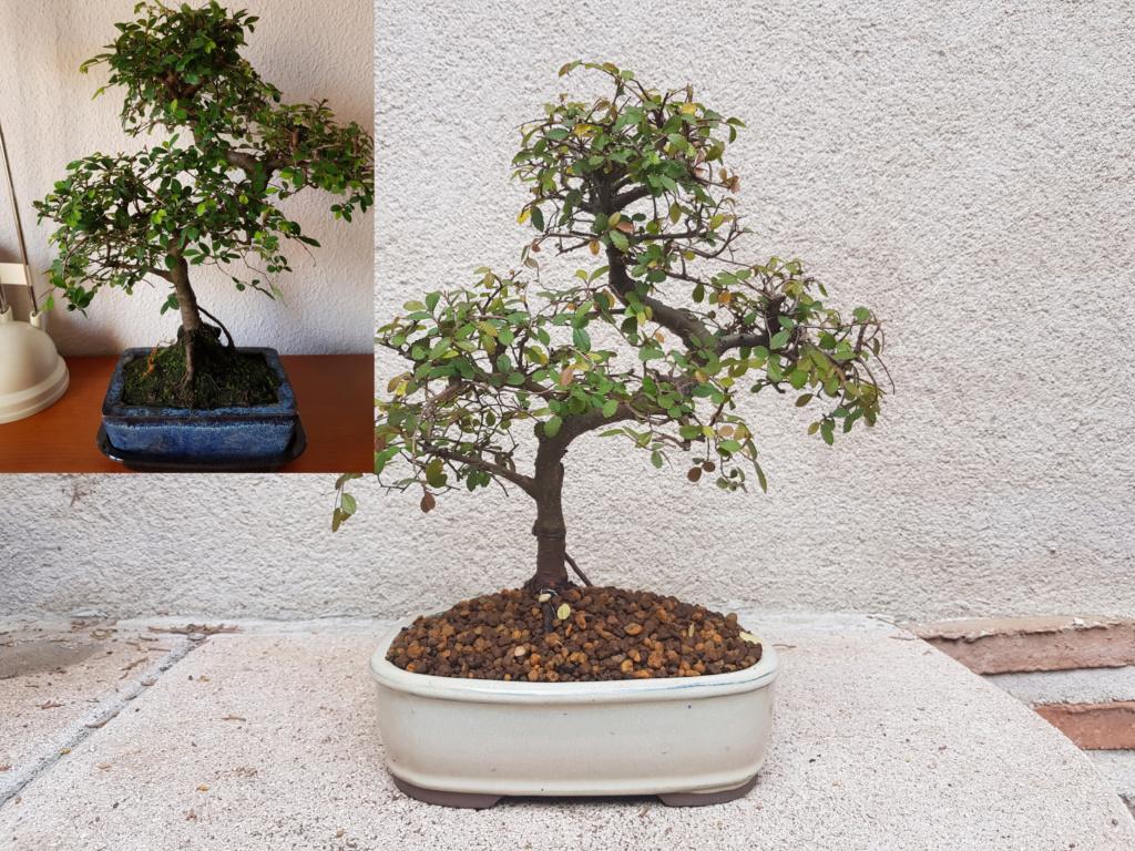 Zelkova pervifolia 20190221