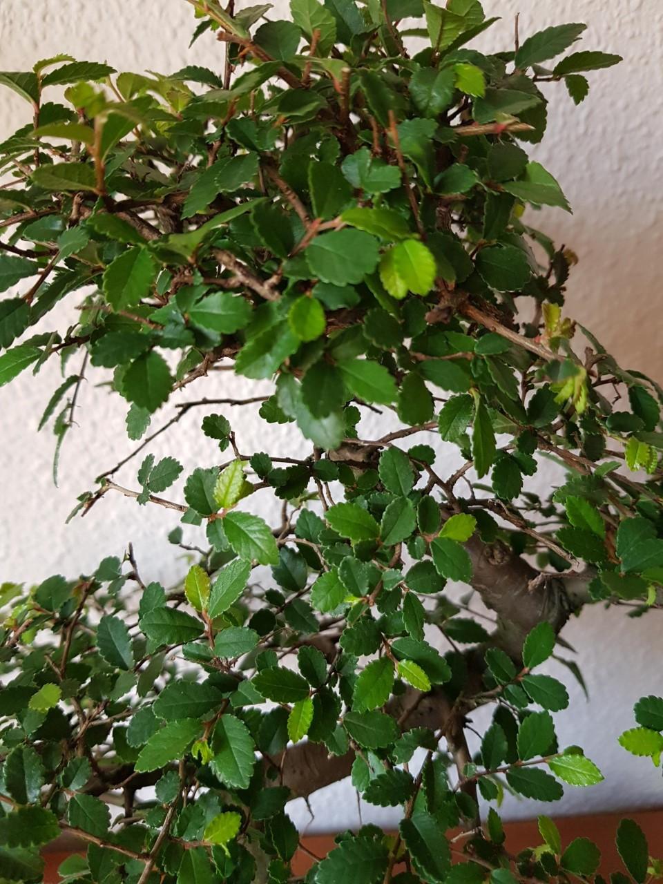 Primer bonsai Zelkova parvifolia Thumbn10