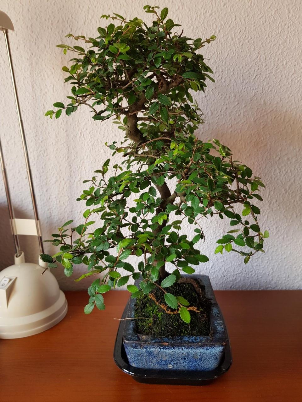 Primer bonsai Zelkova parvifolia Thumbn11