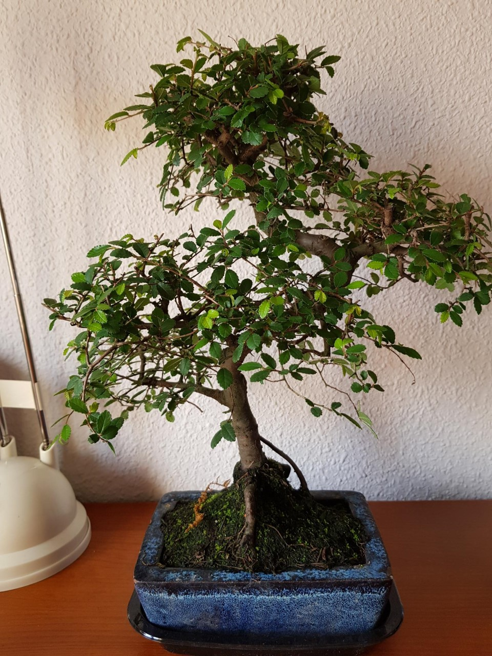 Primer bonsai Zelkova parvifolia Thumbn12