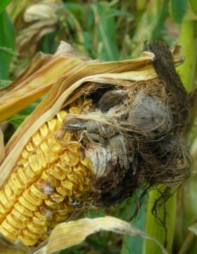 Questions diverses sur le maïs Charbo10
