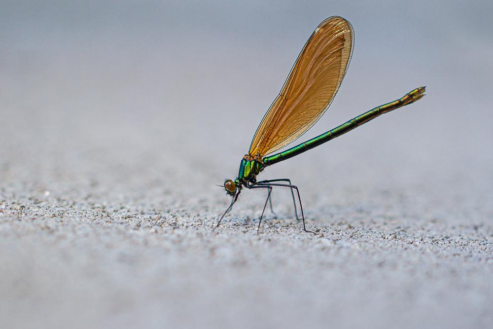 Caloptéryx vierge femelle 18062010