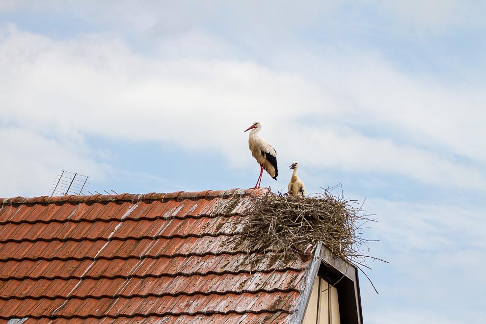 En Alsace, on voit de petites têtes sortir des nids 20062010