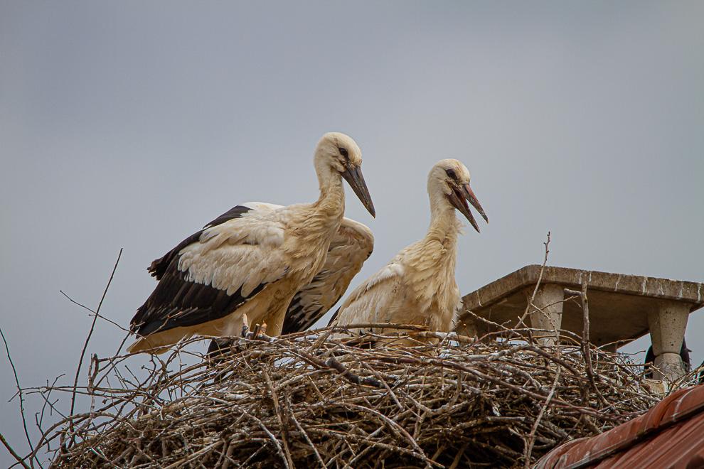 En Alsace, on voit de petites têtes sortir des nids 20062012