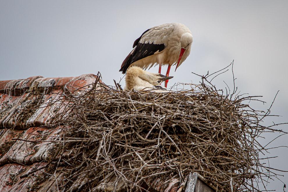 En Alsace, on voit de petites têtes sortir des nids 20062013