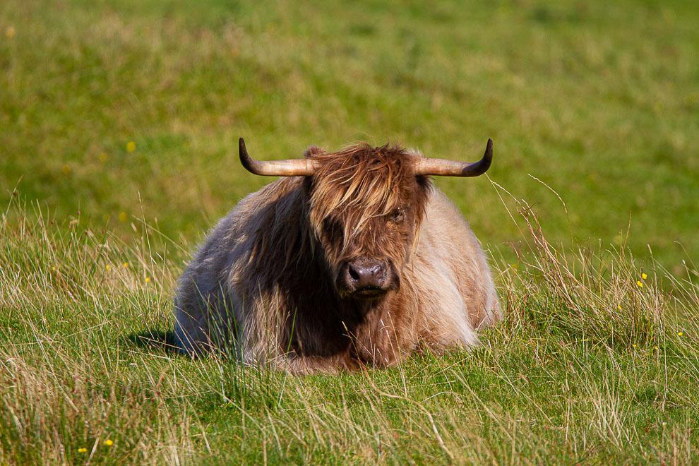 Highlander cow  21092023