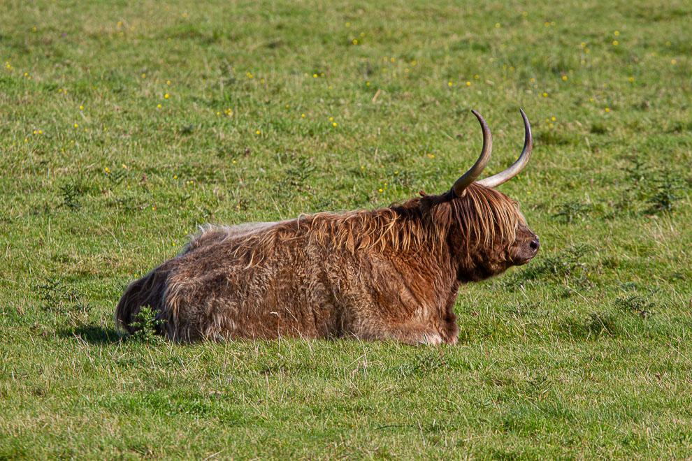 Highlander cow  21092024