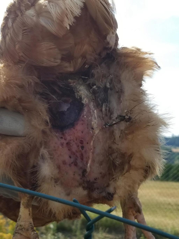 poule grièvement blessée  Resize11