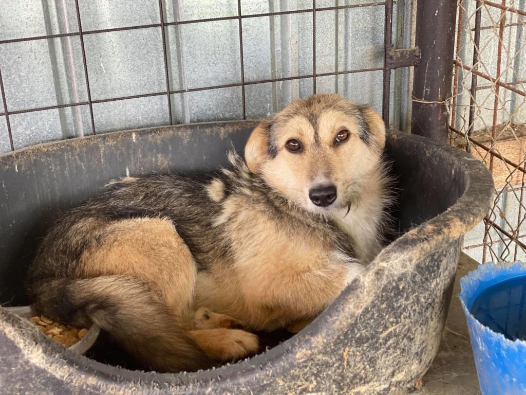 Ayrton- mâle-fourrière de Târgu Fumos - réservé adoption (68) 10378910