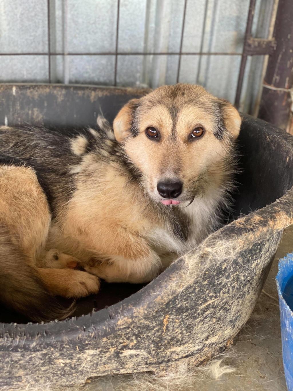 Ayrton- mâle-fourrière de Târgu Fumos - réservé adoption (68) 10384410