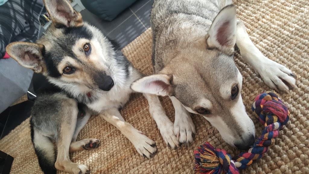 Kodack - mâle - fourrière de Târgu Frumos - réservé adoption 25 70129210