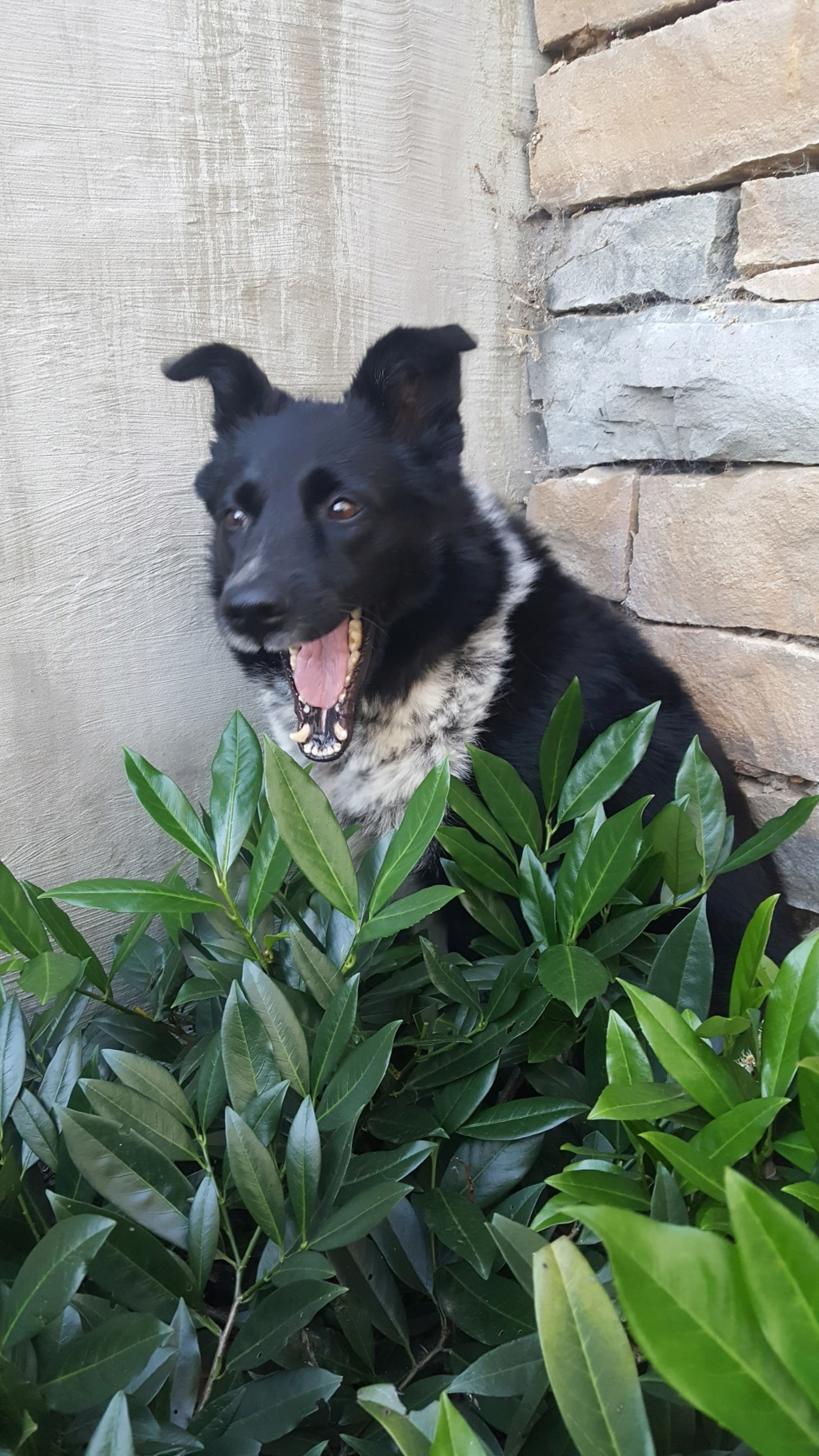 Dakota - femelle - fourrière de Târgu Frumos - Réservée adoption (88) 72045610
