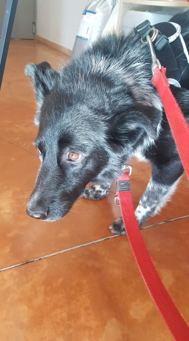 Dakota - femelle - fourrière de Târgu Frumos - Réservée adoption (88) 72295410