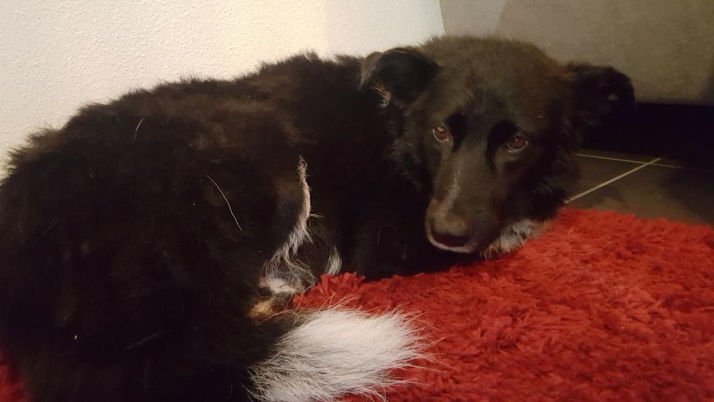 Dakota - femelle - fourrière de Târgu Frumos - Réservée adoption (88) 72350810