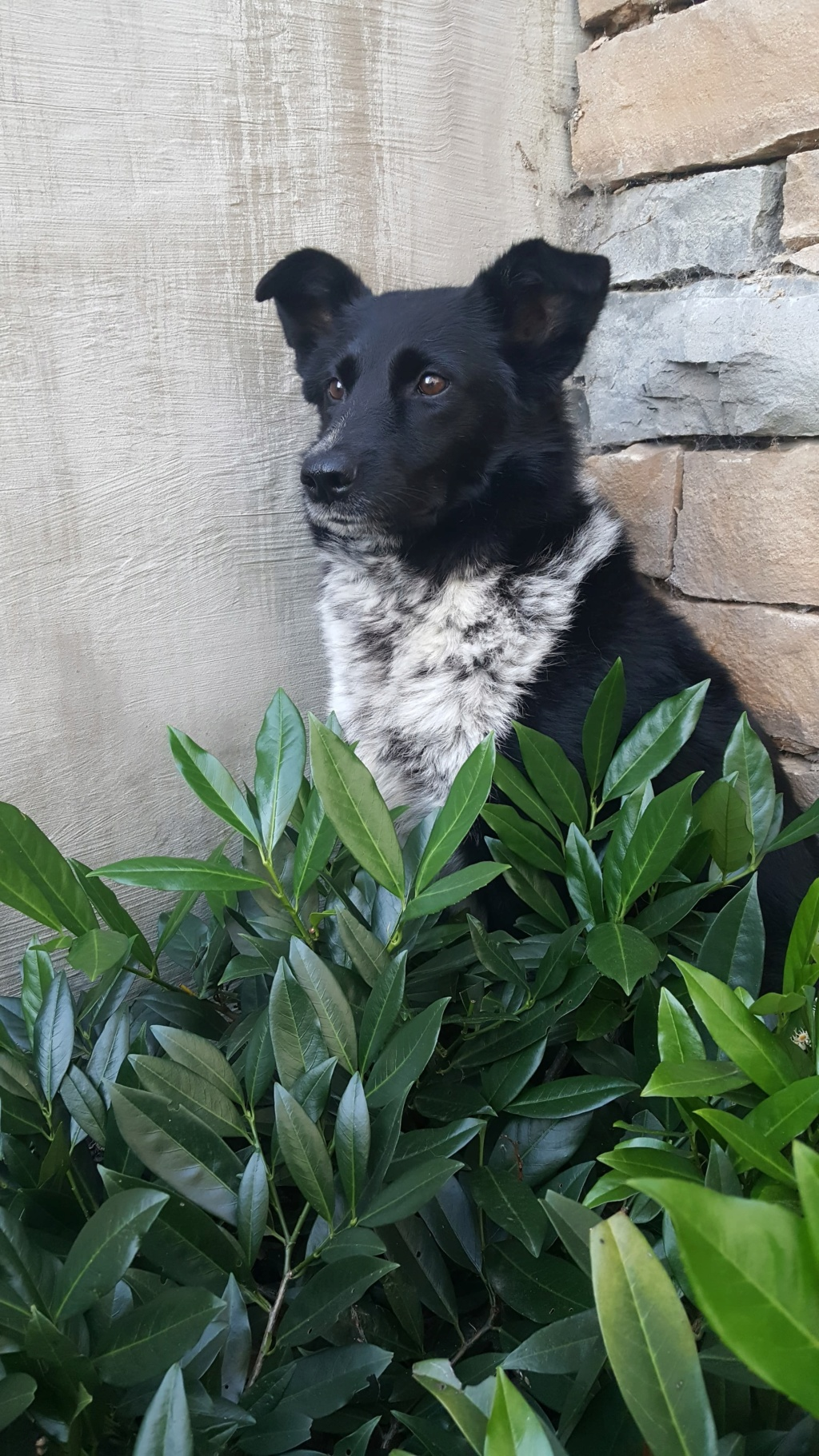 Dakota - femelle - fourrière de Târgu Frumos - Réservée adoption (88) 72615110