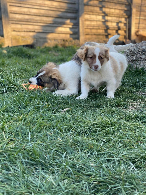 Rocky- mâle- fourrière de Târgu Frumos 91742310