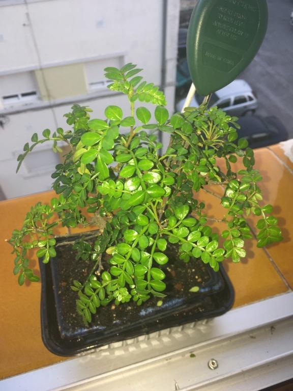 Ayuda con pimentero japonés Img_5910